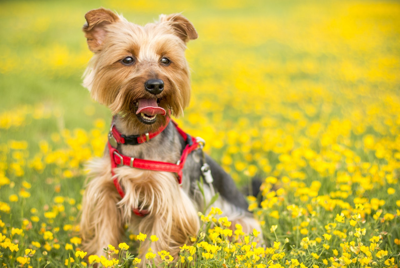 Yorkshire Terrier Facts Can A Yorkie Cutie Be A Service Dog